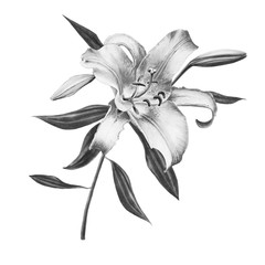 Beautiful black and white lily composition. Floral print. Marker drawing. Watercolor painting. Wedding and birthday festive composition. Greeting card. Painted background. Hand drawn illustration.
