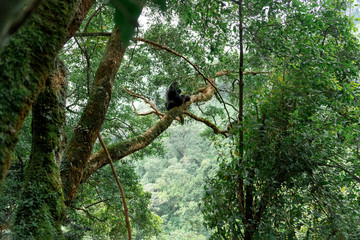 Silverback mountain gorilla in a rainforest (Bwindi Impenetrable National Park, Uganda) Wall mural