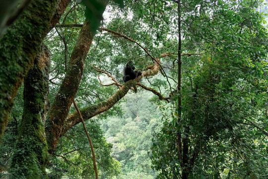 Silverback mountain gorilla in a rainforest (Bwindi Impenetrable National Park, Uganda)
