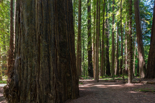 Founder's Grove in Humboldt Redwoods State Park, California, USA