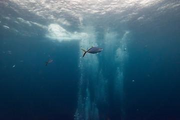Fish underwater, Turneffe Atoll, Belize Barrier Reef, Belize