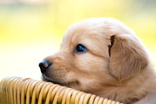 cute puppy dog lover hundewelpen hoverwart blond tierbabys haustier hund vierbeiner welpe wachhund familienhund kind pfoten tapsig outdoor tierportrait