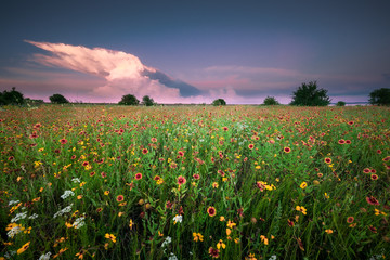 Texas Wildflower Field Under a Gorgeus Sky at Sunset