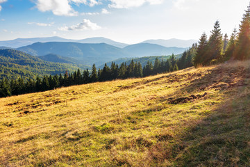 evening landscape in apuseni mountains. weathered grass on the meadow in golden evening light. row of spruce trees on the edge of a hill. mountain ridge in the distance. sunny weather with clouds