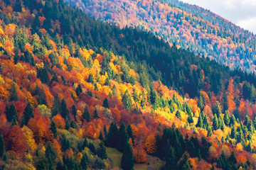 bright autumn scenery in mountains. forest on hills in colorful foliage. sunny evening with cloudy sky