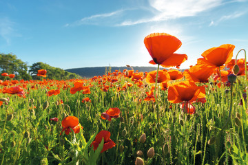 field of red poppy flower shot from below. beautiful nature background against the blue sky