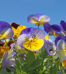 Wall Murals Pansies a close up of blue and yellow tricolor pansies in bright sunlight against a vibrant blue sky
