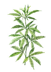 Watercolor hand-painted botany cannabis leaves and branches illustration on white background