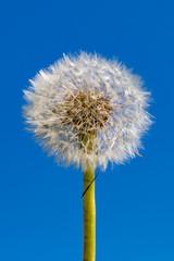 Tuinposter Paardenbloem A Dandelion Seedhead against a clear blue sky