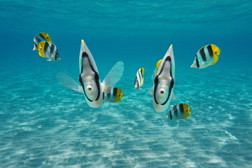Underwater cute tropical fish looking at camera, Pacific double-saddle butterflyfish, Pacific ocean, French Polynesia