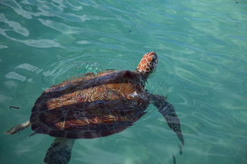 One hawksbill sea turtle swimming away from a sanctuary fence shadow, in natural light and aqua water