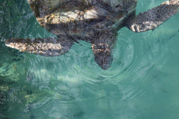 Front half of a close up gray sea turtle in aqua water, sun and shade natural light