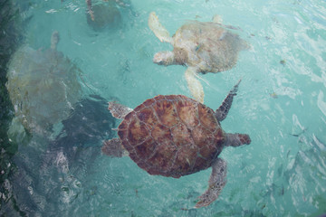 Sea turtles from above, swimming under the surface of wave textured water