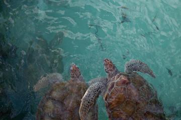 Top view of two reddish brown sea turtles swimming as a pair underwater