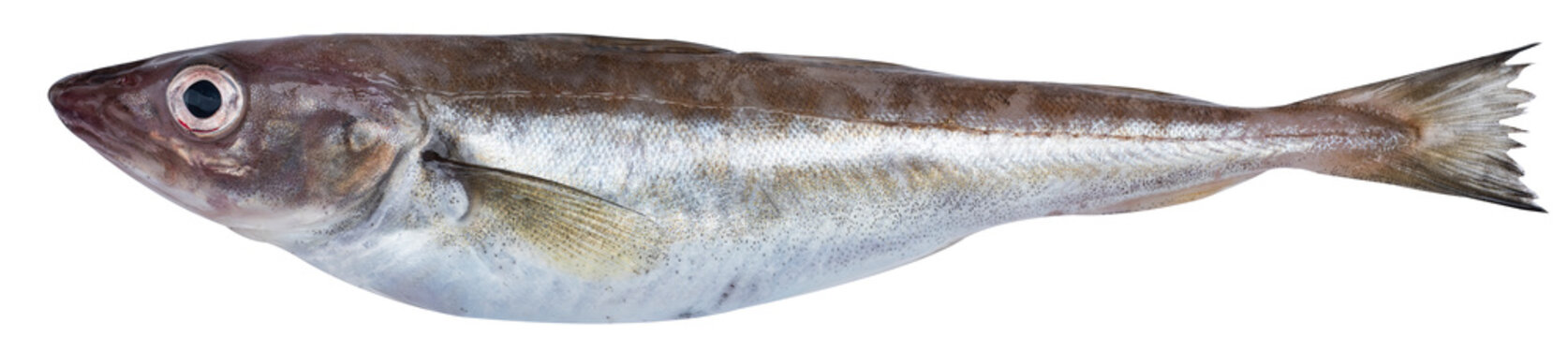 Fresh whiting fishes
