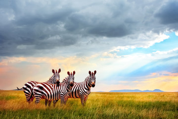 Wall Mural - Group of zebras in the African savanna against the beautiful sky with clouds at sunset. Free space for text.