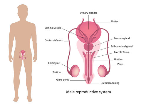 Male reproductive system vector ESP10