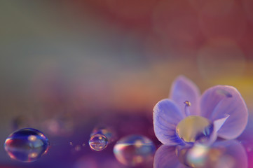 Abstract colorful background with purple-blue flowers and water drops. An artistic picture of flowers and drops.
