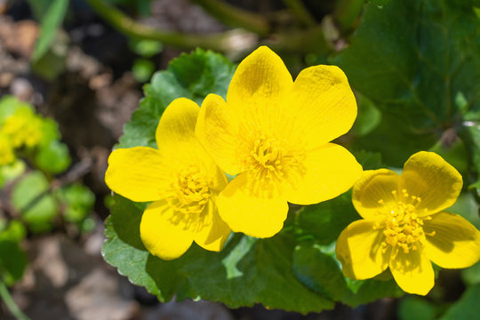 Yellow marsh-marigold Flower in Blossom