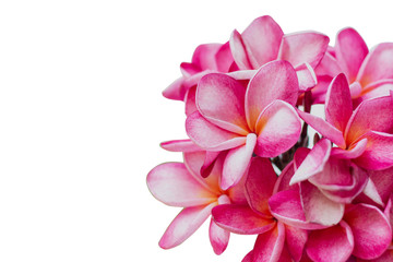 Spoed Fotobehang Frangipani close up pink plumeria isolated on white background