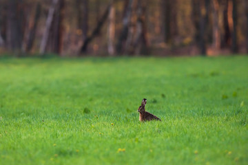 Hare sitting in forest meadow at sunset.