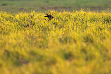 Hare in meadow in evening sun.