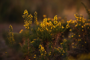 Bushes with yellow blossom in evening sunlight.