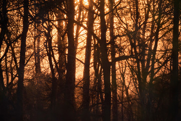 Sunset through trunks in forest.