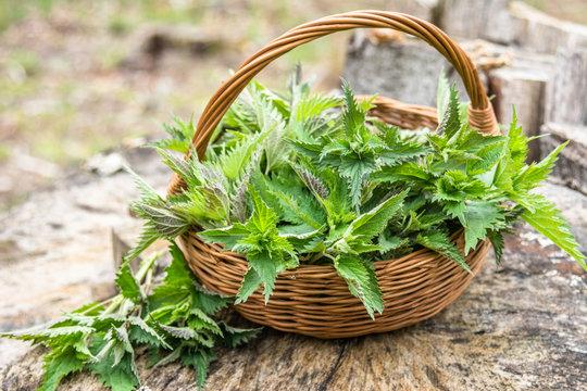 Common nettle harvest. Basket with young fresh nettles. Spring season of harvesting herbs.