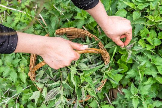 Common nettle harvest. Farmer holding basket with green fresh young nettles. Spring season of harvesting herbs.