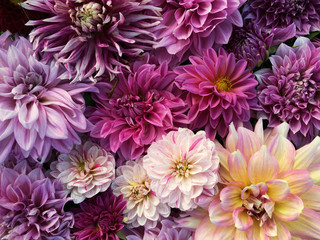 Photo sur Plexiglas Dahlia Many beautiful blooming dahlia flowers, floral summer background. Colorful dahlias in full bloom