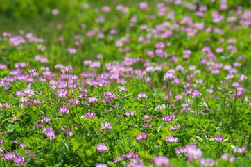蓮華の咲く田んぼの風景