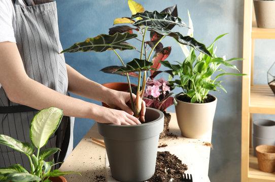 Woman transplanting home plant into new pot at table, closeup