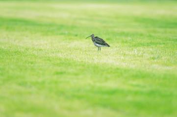 Eurasian curlew in fresh mowed meadow in spring.