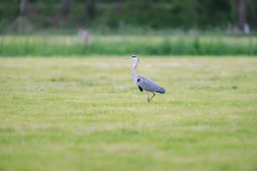 Grey heron in fresh mowed meadow in spring.