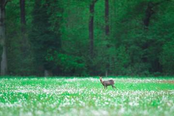 Roe deer doe in forest meadow with faded dandelions.