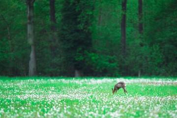 Grazing roe deer doe in forest meadow with faded dandelions.