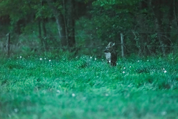 Roebuck in meadow at edge of forest during dusk.