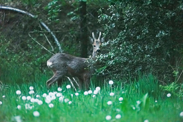 Young roebuck in meadow behind bushes during dusk in spring.