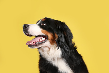 Funny Bernese mountain dog on color background