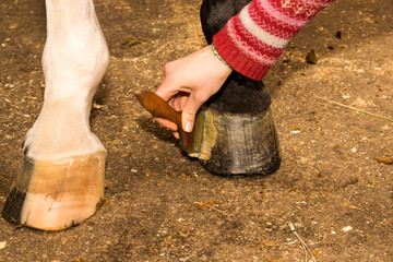 Groomer rubs ointment black front hoof horse legs