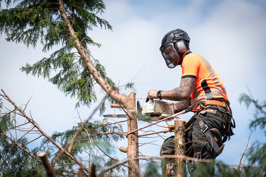 Tree surgeon hanging from ropes in the crown of a tree using a chainsaw to cut branches down. The adult male is wearing full safety equipment.