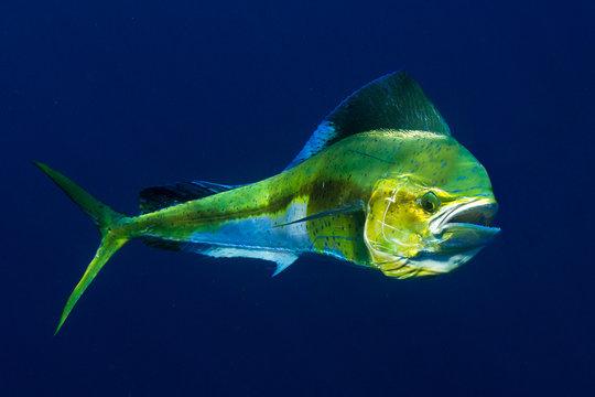 Mahi Mahi or Dolphin Fish shows off her colors.