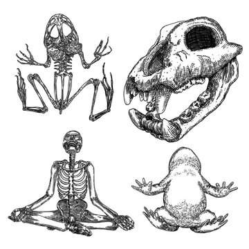 Magic animal elements set. Hand drawn sketch for magician collection. Witchcraft spell symbols, wolf, dog head skull bone, reptile frog skeleton, toad, human skeleton meditation in lotus pose. Vector.