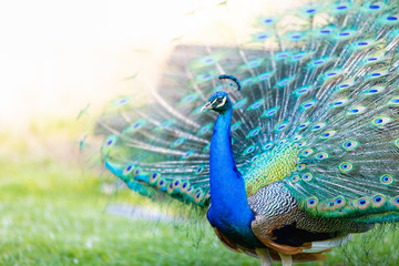 Papiers peints Paon Peacock with all its colors