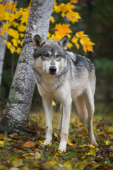 Fototapete - Grey Wolf (Canis lupus) Stands in Front of Birch Trees Autumn