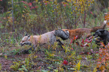 Fotomurales - Skulk of Red Fox (Vulpes vulpes) Runs Left Autumn