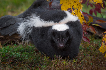 Wall Mural - Striped Skunk (Mephitis mephitis) Walks Forward Autumn