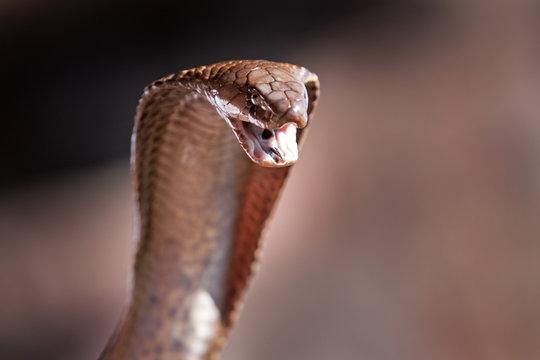 Cape cobra, naja nivea, yellow cobra, south africa,cobra