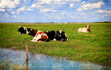 Wall Mural - Free and happy cows are resting and lying on a green pasture